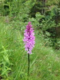 Orchidee Chiemgau (3)